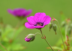 Geranium psilostemon (After-the-Rain) Tags: flowers floral insect bee northumberland nationaltrail wallingtonhall june2016