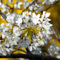 White Cherry Blossom. Branch Brook Park, 1/4 (Tony Fischer Photography) Tags: park pink flowers white nature newjersey cherryblossom newark branchbrook