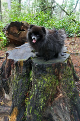 Little Bear (Seth Berry Photography) Tags: bear hairy dog black tree cute tongue ball hair fur cub long little small adorable tiny stump trunk pomeranian stub furball