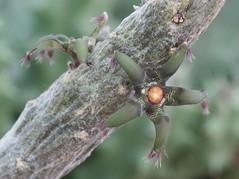 Rithydocaulon macrolobun (paola.mich) Tags: apocynaceae asclepiadaceae asclepiads rhytidocaulon macrolobum ascelps