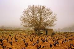 Vinyes sota la boira, paisatge,el Penedes (Angela Llop) Tags: winter spain viña wine catalonia vineyards penedes vinya poda boira