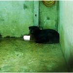 『淡水收容所』0321,秋田、哈士奇、似梗犬或混喜樂蒂、母帶子、米克斯成幼犬、201203023 thumbnail