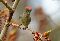 Male Ruby-crowned Kinglet (Regulus calendula) (Photography Through Tania's Eyes) Tags: canada tree male bird nature animal fauna photography photo bill pom wings flora nikon photographer bc image okanagan wildlife branches feathers photograph catkin birch okanaganvalley rubycrownedkinglet reguluscalendula kinglet britishcolumiba peachland copyrightimage nikond7000 taniasimpson malerubycrownedkinglet