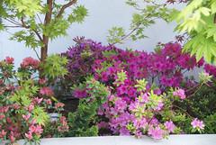 DSC_4557 (amt40) Tags: flower primavera garden spring flor japanesemaple acer azalea deciduous shrubs palmatum arcejaponés