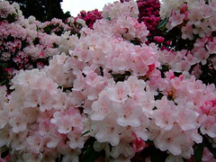Rhododendron (yewchan) Tags: flowers flower nature colors beautiful beauty closeup garden flora colours azaleas gardening vibrant blossoms rhododendron azalea blooms lovely rhododendrons
