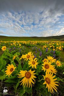 Columbia Wild Flowers