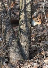 (frettir) Tags: squirrel sweden peekaboo twig ekorre gren bromma tittut ngby