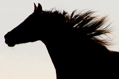 The Wind in Her Mane (C-Dals) Tags: sky horse silhouette nikon wind morgan nikkor mane gallop 55200mmf456gvr d5100 tp181
