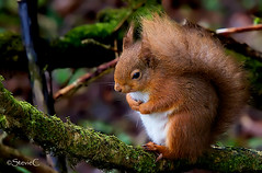 Little Red (StevieC-Photography) Tags: uk horizontal outdoors photography squirrel day branch wildlife nopeople esquilo ardilla redsquirrel dumfriesandgalloway