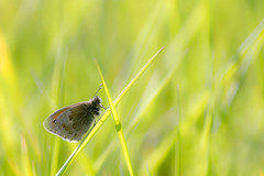 Fadet commun dans l'herbe ensoleille / Small Heath in the sunny grass (bEOSien87) Tags: macro nature grass animal canon butterfly insect french eos wildlife sigma papillon franais insecte herbe extender kenko procris sigma105mm coenonymphapamphilus smallheath 550d sigma105mmf28exdg kenko14 fadetcommun rebelt2i kissx4 kenkopro300dgx