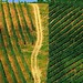 AG13 Scala Marco le due vigne - zenevredo - 2006 - categoria agricoltura