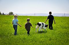 Four Friends (Dairy Farmers of Washington) Tags: field cow child farm dairy calf holstein