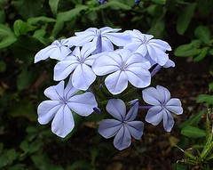 Cape leadwort - Blousyselbos (Piet Grobler) Tags: fuji plumbago skyflower plumbagoauriculata blousyselbos