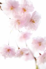Cherry Blossoms 1 (mikkabozz) Tags: flower japan spring cherryblossom