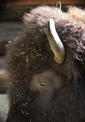 Bison (GBaker63) Tags: toronto eye zoo highpark horn bison canoneos60d