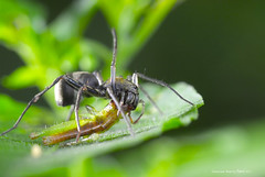 120516 大蟻蛛 Myrmarachne magna Saito, 1933 (Taiwan-Awei) Tags: spider 生態 自然 macro 蜘蛛 awei taiwanawei 林敬偉 微距