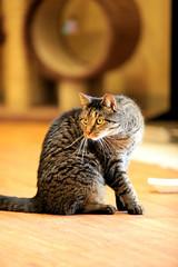 Gunther (XOZ ~ www.ipernity.com/zelda) Tags: cat newjersey feline friendly gunther fearless ringoes browntabby masteroftheuniverse tabbysplace