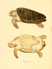 n57_w1150 (BioDivLibrary) Tags: unitedstates amphibians reptiles loggerheadseaturtle taxonomy:binomial=cheloniacaretta harvarduniversitymczernstmayrlibrary bhl:page=3682734 dc:identifier=httpbiodiversit