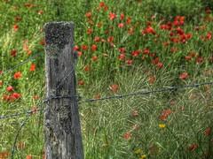 Les pines des coquelicots  [Explore] (Rollerphilc) Tags: flower nature fleur canon rouge vert explore poppies hdr
