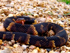 broad banded water snake (snakewisperer) Tags: usa brown black green nature beautiful animals tongue missouri bite snakes reptiles slither watersnake herpetology potofgold snakewhisperer broadbandedwatersnake snakguy77