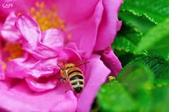 Jedem Tierchen sein Plsierchen - Different strokes for different folks (cape) Tags: flower macro rose closeup insect nikon dof bokeh bee handheld cape nikkor 105mm d90 rosengewchs nikond90 cape afsmicro105mm afsmicro105mmf28gvr