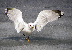 Seagull (Tommira) Tags: snow ice suomi finland spring wings seagull lumi j kevt lokki siivet