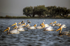 pelicans on lake tana (mariusz kluzniak) Tags: africa morning light lake pelicans water birds swimming sunrise view sony group east ethiopia alpha tana 77 slt shoal a77 gondar
