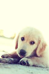 Golden (Wochilandya) Tags: atardecer golden retrato playa cachorro lugares perros mascotas personaje huan sanjosdecarrasco flickrandroidapp:filter=none alexwojciechowski wochilandya