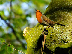 Collecting For New Baby (oldt1mer) Tags: red food tree bird robin leaves wings close sony beak bugs perched sthelens redbreast carrmill thegalaxy a65 carrmilldam mygearandme mygearandmepremium mygearandmebronze mygearandmesilver mygearandmegold mygearandmeplatinum mygearandmediamond sonya65 slta65