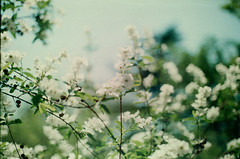 Spring blossoms #1 (sunnylapin) Tags: flower green film nature 35mm iso200 spring close blossom ukraine bloom crimea yalta blacksea closerange canonfx