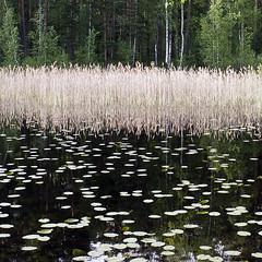 Old Sauna Wetlands (ken mccown) Tags: reflection finland grasses birch wetland kiljava oneofthemostbeautifulplacesonearth safanvahakiljava