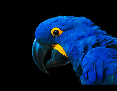 Parrot Portrait (Daniel | rapturedmind.com) Tags: blue portrait eye animal yellow blackbackground beak parrot portrt gelb colourful blau auge papagei schnabel schwarzerhintergrund againstblack