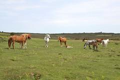 forest hareem (romorga) Tags: wild summer horses horse white nature canon nationalpark day mare group heath chestnut resting newforest stallion foal blackgutter blackgutterbottom romorga