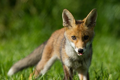 _W9H4667 (asbimages.co.uk) Tags: uk nature animal wildlife fox foxes redfox vulpesvulpes vulpes