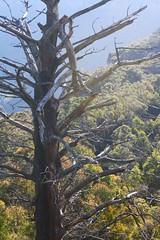 Dead tree (sandraarrell) Tags: june bluemountains nsw 2012 medlowbath sandraarrell