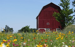 flowers pretty country bluesky wildflowers bard redbarn hotsummerday rkramer62