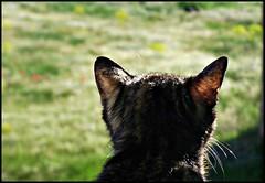 """""""Es una labor muy difícil ganar el afecto de un gato; será tu amigo si siente que eres digno de su amistad, pero no tu esclavo."""" - Teófilo Gautier (alma-81) Tags: gatos campo mascotas amapolas grulleros"""
