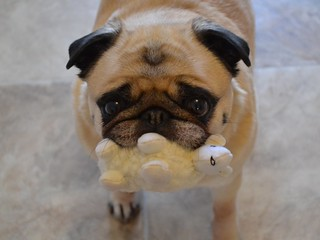 Bailey Puggins and her new toy lamb