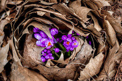 13/52 Mother Earth (melbaczuk) Tags: flowers leaves canon garden spring purple crocus kelowna motherearth 52 crocuses birthing 1352 project52 canon7d week13theme 52weeksthe2014edition week132014 weekstartingwednesdaymarch262014