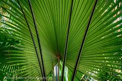 Palms (dmorri2) Tags: atlanta garden palms georgia palm botanicalgarden atlantabotanicalgardens