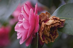 noble truths (Joey Johannsen) Tags: pink flowers colour netherlands gardens spring rotterdam grow wither tuin blooms lente bloemen nobletruths trompenburgtuinenarboretum birthandoldage