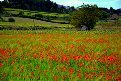 Vinyes i sembrat, Pacs del Peneds. (Angela Llop) Tags: primavera spain wheat eu catalonia vineyards poppies fields penedes pacs roselles