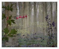 CP - 019 Woodland and garden mix (Clare Pickett) Tags: tree leaves woodland branch montage bleedingheart layers bluebell