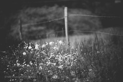 happy fence anyday (mamuangsuk) Tags: flowers bw monochrome bokeh f12 shallowdof hff bokehgalore llenses bokehlicious canonef50mmf12l prolenses mamuangsuk utrafastprimelenses happyfenceanyday 50llenstestreview