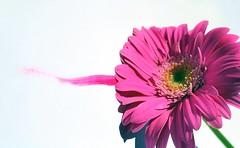 A colored stripe (Luc1659) Tags: colore rosa gerbera originalit