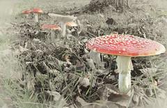 Funghi (hullspurs) Tags: mushroom funghi toadstool silverfx