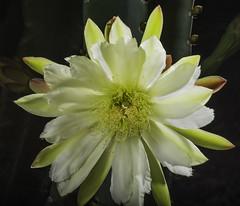 Night Blooming Cactus Flower In The Light (Bill Gracey) Tags: flower nature fleur flor backlit naturalbeauty softbox backlighting cactusflower nightblooming offcameraflash lastoliteezbox yongnuorf603n yn560iii
