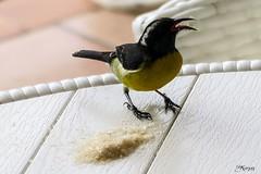 Sucrier au ventre jaune - Guadeloupe (Kri1978) Tags: jaune à ventre oiseaux guadeloupe gwada antille sucrier sikrié