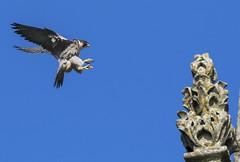 Peregrine falcon - Falco peregrinus (mrfurrylover) Tags: bird sport canon eos cathedral sigma 7d prey bop chichester mkii falco peregrinus 150600