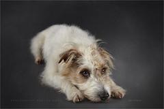 Pullo (Marijke M2011) Tags: dog pet cute love animal studio friend indoor hond terrier huisdier petportrait dogportrait parsonrussellterrier studiolightning hondenportret